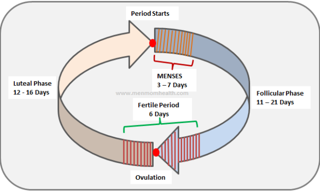 Ovulation Calculator To Know When You Ovulate-Ovulation Cycle